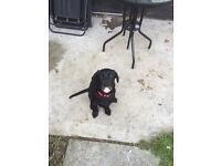 Pure breed black lab for sale
