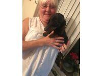 Miniature dash hound for sale.