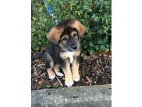 Tibetan mastiff cross German shepherd