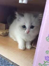 Ragdoll kittens (full pedigree)