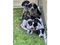 German wire-haired pointer X lurcher pups