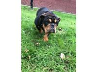 English bulldog male 6 months old
