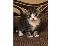3 Beautiful Kittens for sale