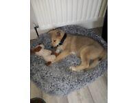 Beautiful Pomsky Puppy