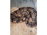 Royal python ..