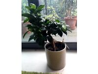 Plant for home (Ginseng)
