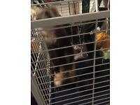 Ferrets needing new home
