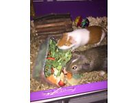 2x 1 year old guinea pigs looking for a friendly home .