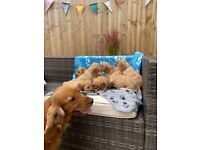 F1 Red SHOW Cockapoo puppies