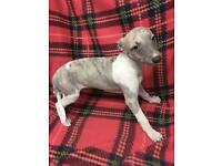 Blue whippet puppies ready now