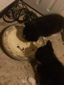Baby kittens for sale