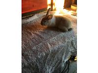 Dutch x baby male rabbit