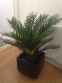 Fully grown cycas revoluta palm