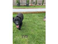 German shepherd puppies to be rehomed