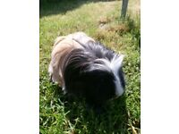 Guinea pigs with hutch