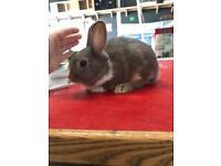 Dwarf X Dutch Rabbits