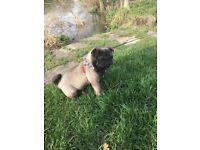 Platinum KC reg pug girl for sale