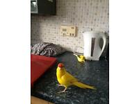 Look!! Young Kakariki for Sale, free cage