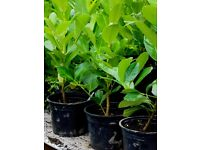 Evergreen Laurel Hedge Plants ... Perthshire Tayside £4 (see video)