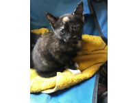 Four very friendly part Siamese kittens for sale