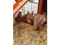 Purebreed Lion head rabbits with free food and bedding and free carry case