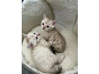 Snow lynx bengal kittens with blue eyes