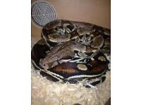 Crackin female snake for sale with full setup 120 90 on her own