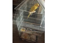 Yellow Indian ringneck talking parrot for sale
