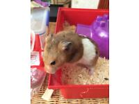Sweet hamster looking for new home asap