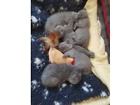 Stunning litter of registered british blue shorthair kittens