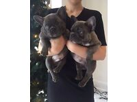 Blue French Bulldog Puppies- TWO LEFT! KC registered