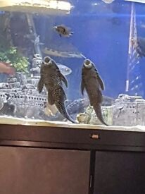 Pelco fish for sale