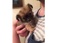 Long hair / Coat Chihuahua puppy / puppies. Full pedigree. Boy . Ready now. Dundee .