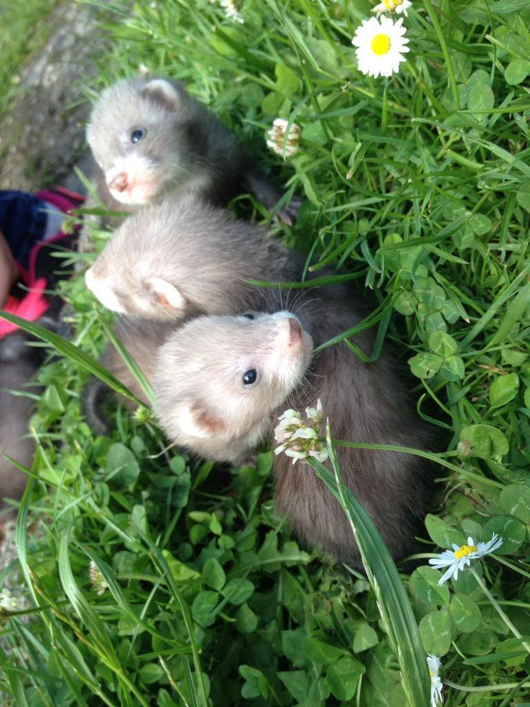 Ferret polecat babys in Rotherham South Yorkshire Gumtree : 86 from www.gumtree.com size 768 x 1024 jpeg 126kB