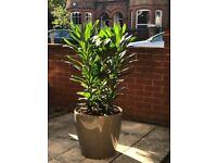 Dracaena plant in planter