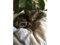 Maine coon x tabby kittens