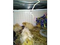 Male long hair guinea pigs