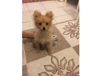 Adorable pure pomeranian puppies only 2 left