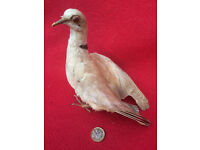 Antique Taxidermy Bird, Collar Dove, removed from c1930 case
