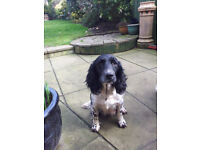 Pedigree English Springer Spaniel Pups For Sale