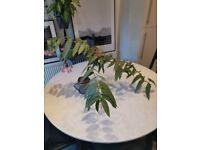 Indoor plant rare Begonia tamaya begonia corallina bamboo begonia