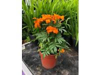"""African Marigold will grow to 48"""" tall"""