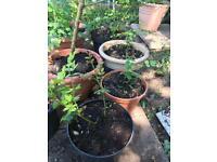 Rose plants in pots