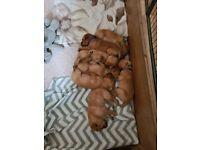 REDFOX labrador puppies