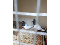 Pakistani High Flyer (Teddy Pigeons )for sale