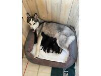 Rottsky Puppies (Siberian Husky X Rottweiler)