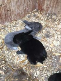 Giant x lop