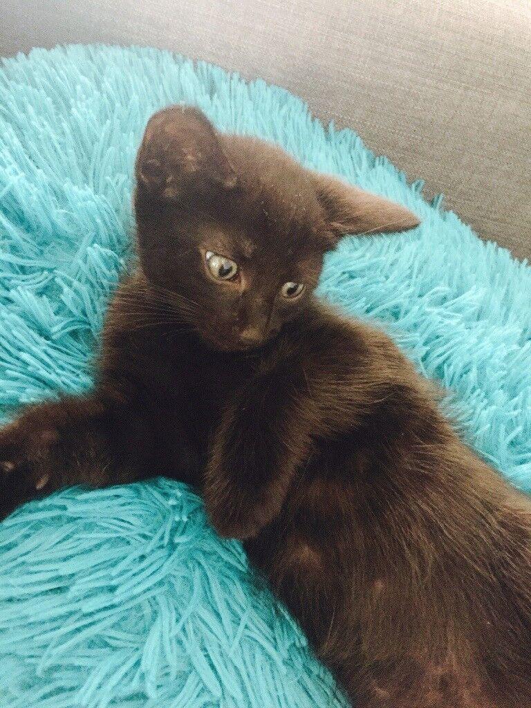Cute Black Kitten for sale 8 week old