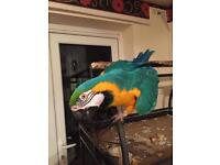 Gold&blue macaw parrot
