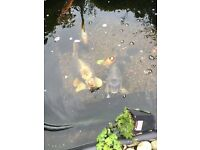 2 ghost koi £60 the pair too big for my pond